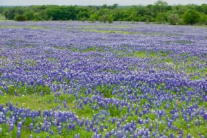 Texas Bluebonnets